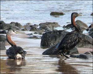طيور على شاطئ ملوث بالنفط في أورغواي