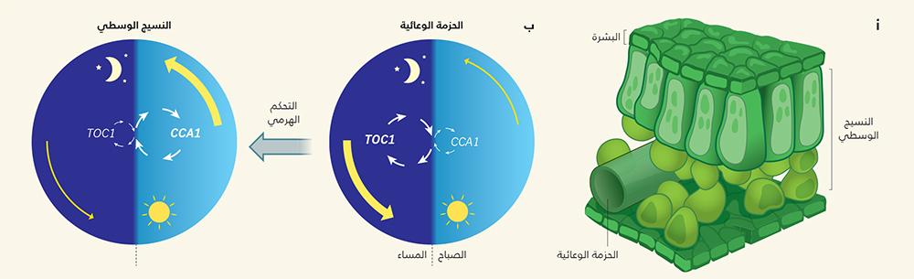 أ، تتكون الأوراق من خلايا البشرة وخلايا النسيج الوسطي والخلايا التي تكون الحزمة الوعائية. ب، أثبت إندو وزملاؤه1 اختلافات في الساعات البيولوجية التي تُنظم الحزمة الوعائية والنسيج الوسطي، إذ تنشط في الحزمة الوعائية جينات الحلقة المسائية، مثل TOC1 أكثر من جينات الحلقة الصباحية، مثل CCA1 (يشار إلى الحلقات بالأسهم البيضاء). لذلك.. يوجد قدر أكبر من النشاط الجيني الكلي في الحزمة الوعائية في المساء عنها في الصباح (تم تمثيلها بالأسهم الصفراء). والعكس صحيح في النسيج الوسطي. أوضح المؤلفان أن ساعة الحزمة الوعائية تتصل وتنتظم مع ساعة النسيج الوسطي، لكنهما لم يجدا دليلًا على أن النسيج الوسطي يمكن أن ينظم الحزمة الوعائية، مما يوحي بسيطرة هرمية.