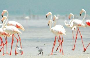 فلامنكو فلامنجو محمية الوثبة أبوظبي