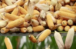 حصادة تفرغ حمولة من الذرة في شاحنة بمزرعة في إقليم خبي الصيني يوم الأول من أكتوبر تشرين الأول 2015. تصوير: كيم كيونج أوون - رويترز